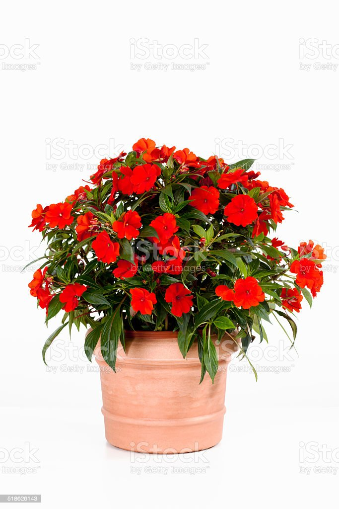 Potted busy lizzie against white background stock photo