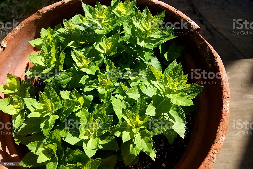 Potted Crinkled Leaves royalty-free stock photo