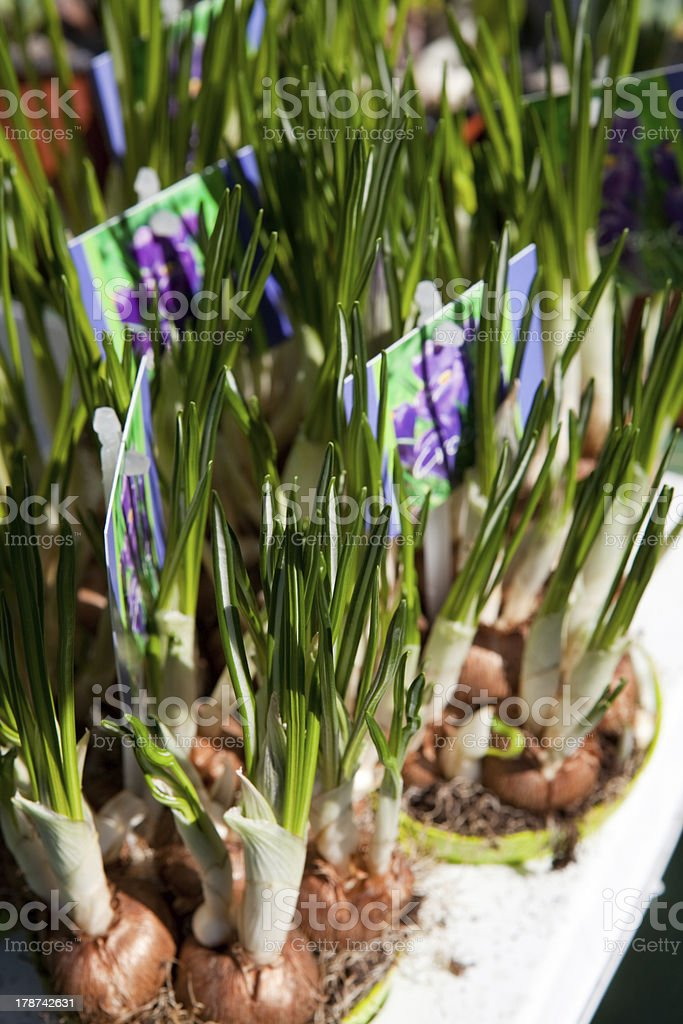 Potted crocuses royalty-free stock photo