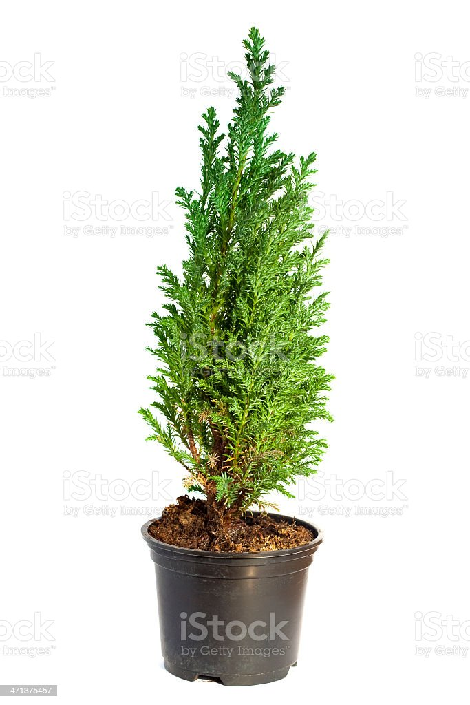 Potted cypress tree against a white background stock photo