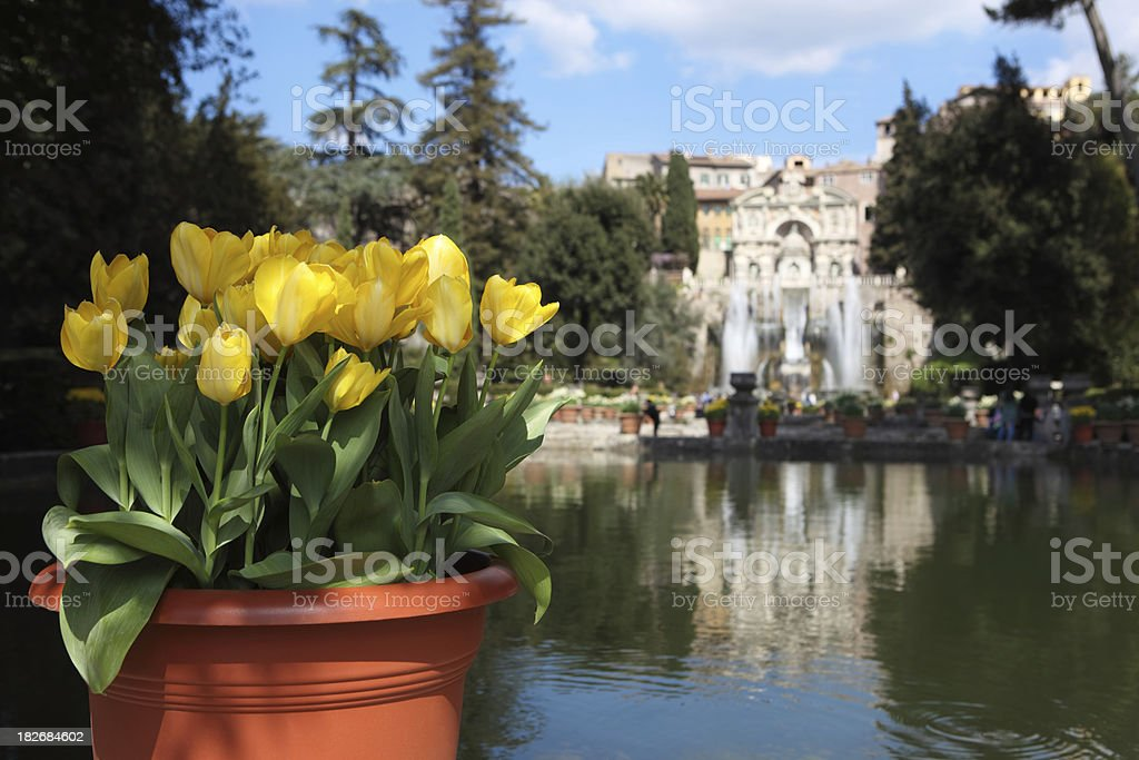Potted daffodils by a pond in Villa d'Este , Tivoli  Italy royalty-free stock photo