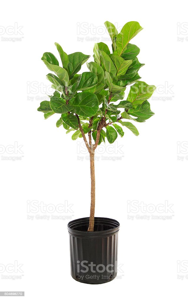 Potted Ficus Larata Isolated on White stock photo