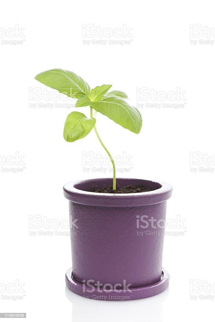 Potted fresh basil plant stock photo