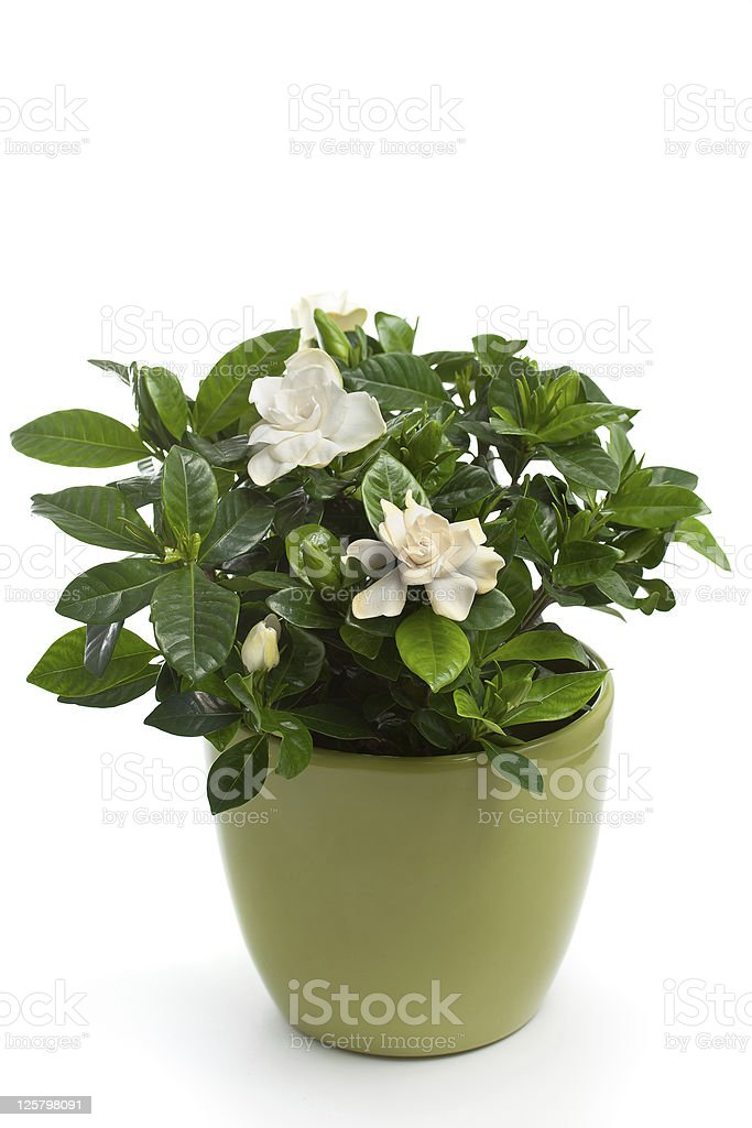 A potted gardenia plant on white stock photo