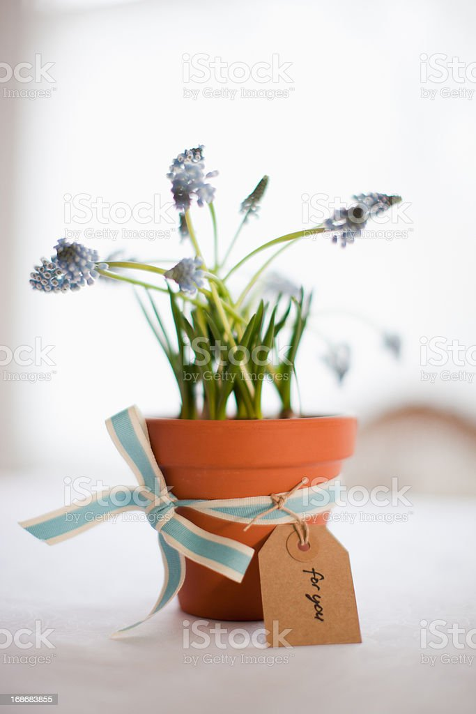 Potted grape hyacinth flowers with ribbon and gift tag royalty-free stock photo