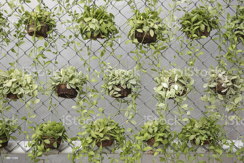 Potted green plants hanging on fence against wall stock photo