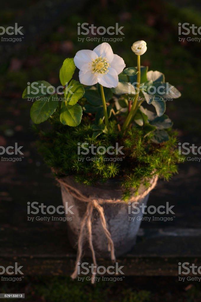 Potted Helleborus White Beauty stock photo