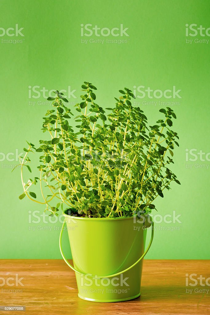 Potted Herb Garden Thyme Seedling Plants in Blank Background stock photo