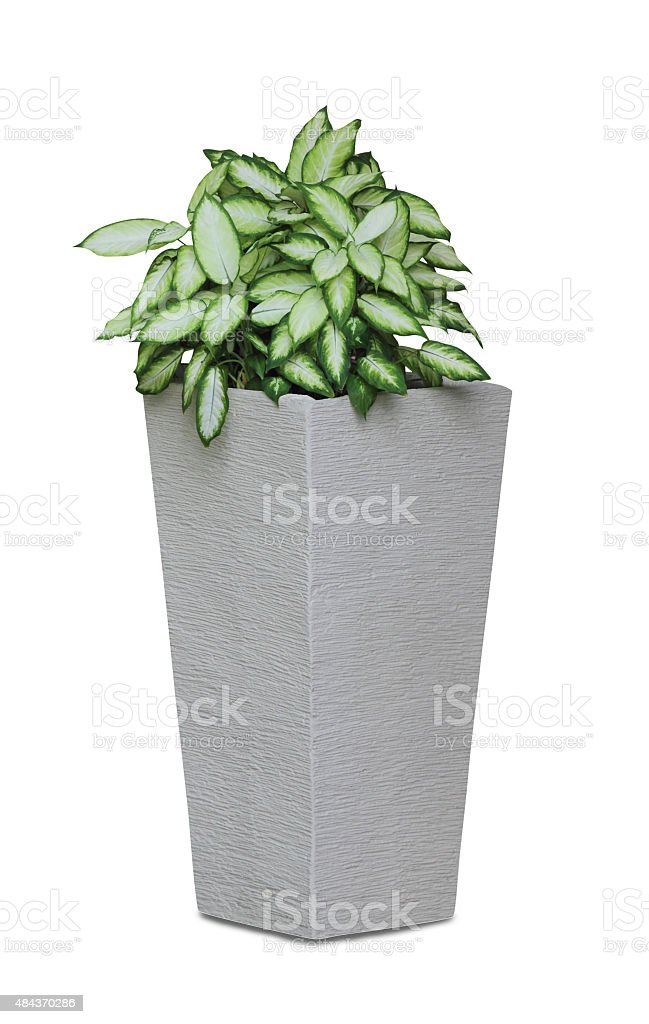 Potted house plant isolated in white background - Diffenbachia stock photo