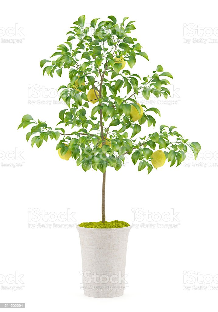 potted lemon tree isolated on white background stock photo