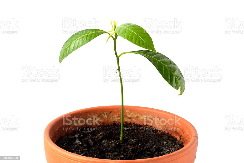 Potted mango tree sprout  with small leaves stock photo