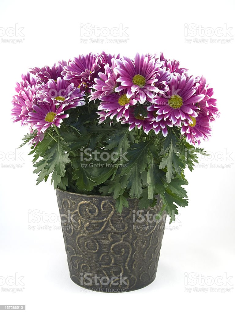 Potted Mums royalty-free stock photo