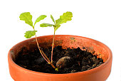 Potted oak tree sprout out of acorn with small leaves