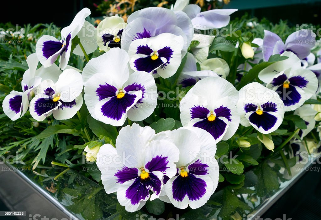 Potted pansies, white with purple centres stock photo