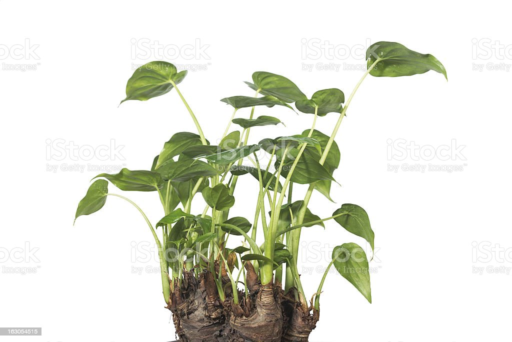 Potted royalty-free stock photo