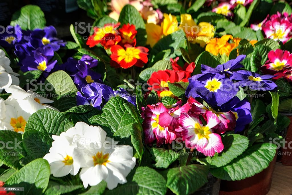 Potted Primula flowers. stock photo