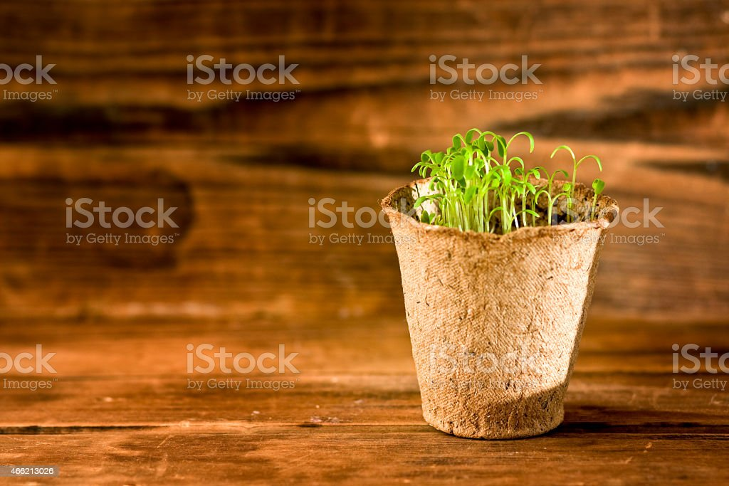 Potted seedlings growing in biodegradable peat moss pot on wood stock photo