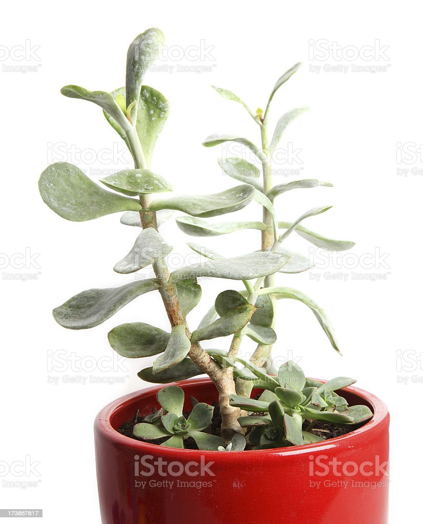 Potted Succulents stock photo