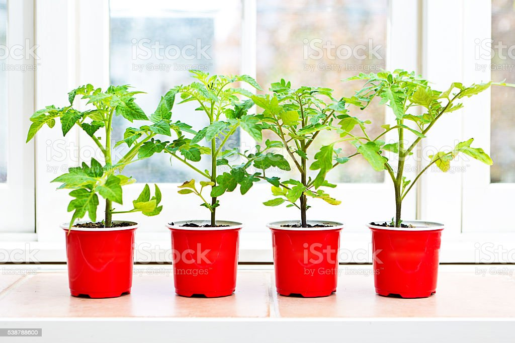 Potted Tomato Garden Seedling Plants with Window Background stock photo
