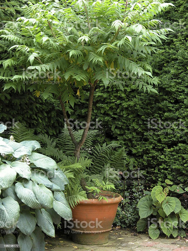Potted tree plant royalty-free stock photo