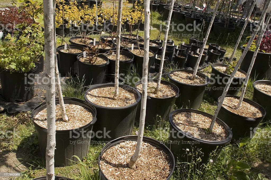 Potted Trees royalty-free stock photo