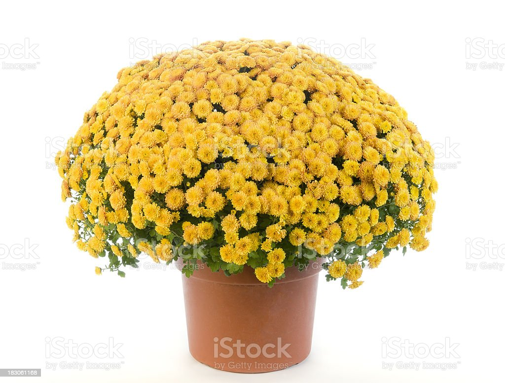 Potted Yellow Chrysanthemum - Mums stock photo