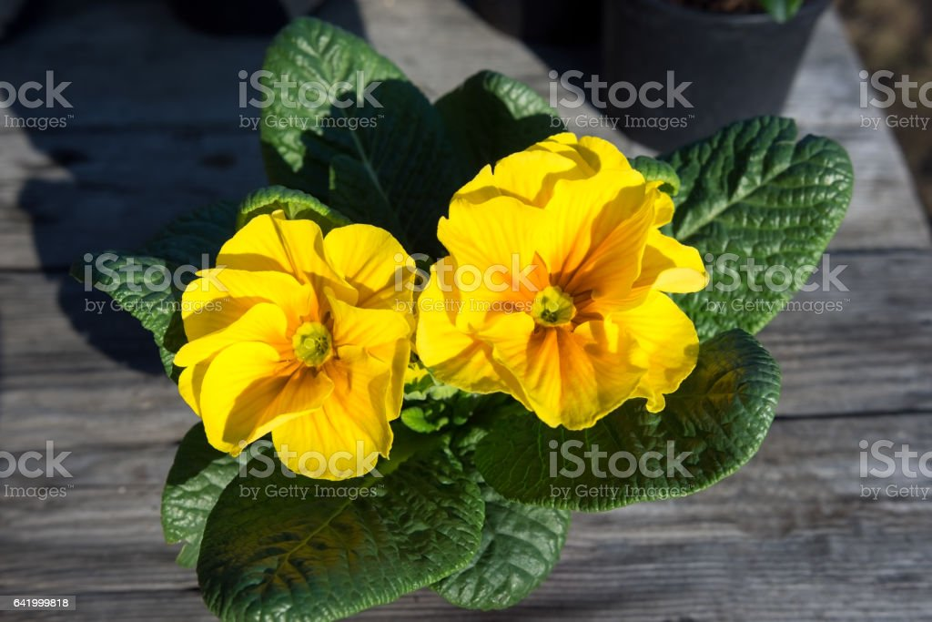 Potted yellow primrose on the wooden table stock photo