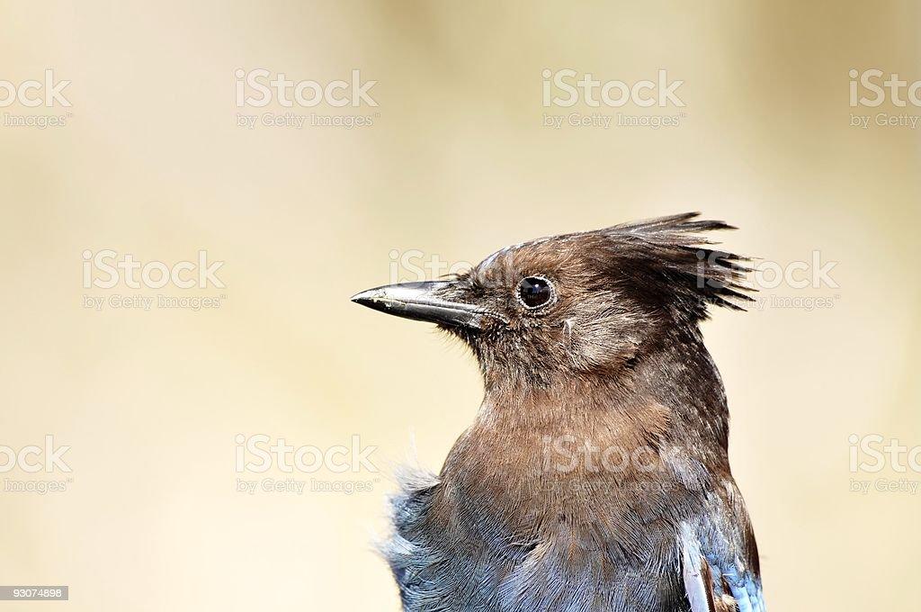 Potter Marsh Gray Jay Perisoreus canadensis Head stock photo