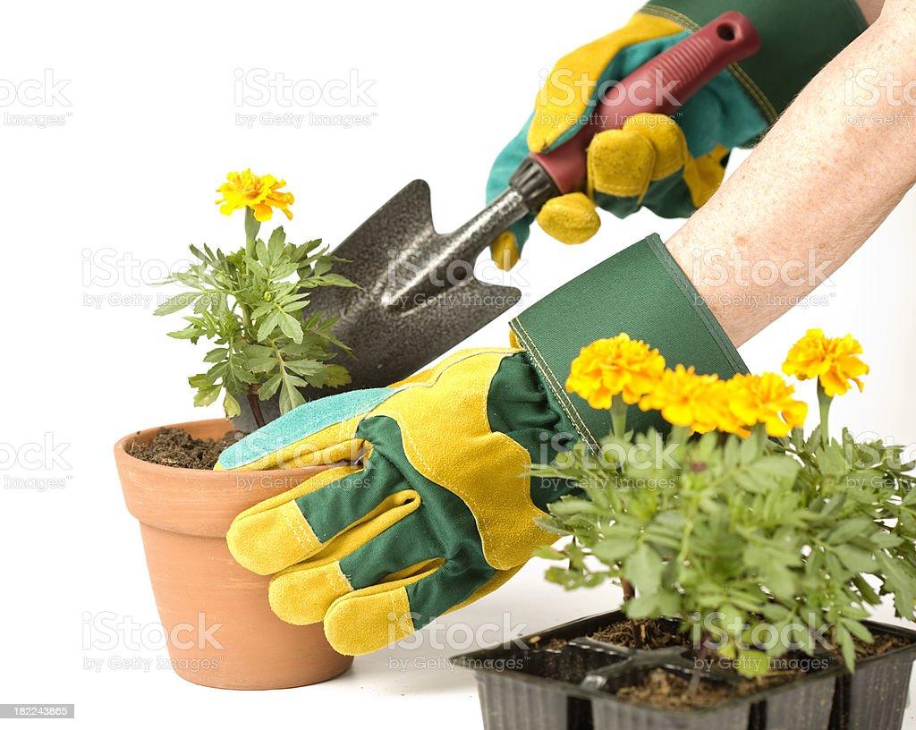 Potting Marrigold seedlings royalty-free stock photo