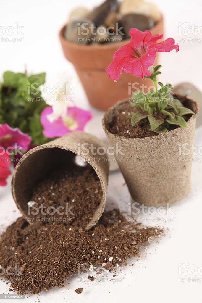 Potting Petunias stock photo