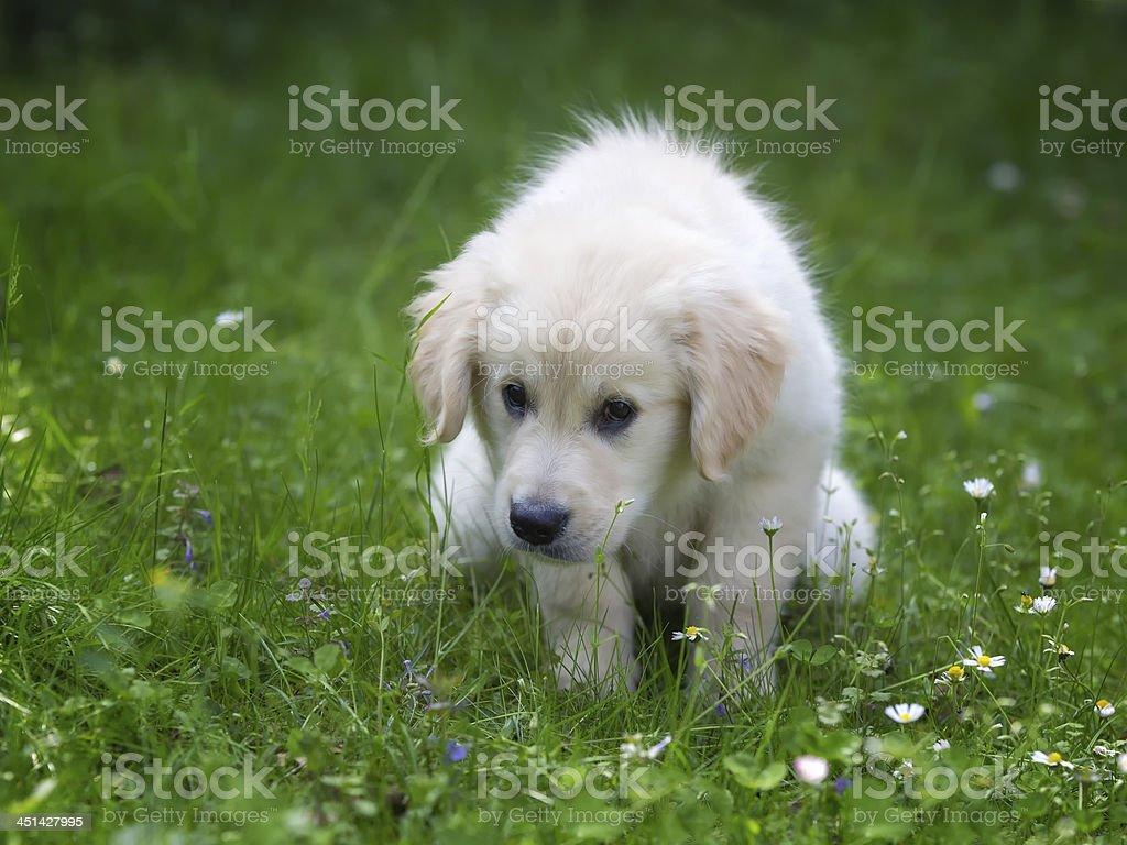 Potty training for golden retriever  puppy royalty-free stock photo
