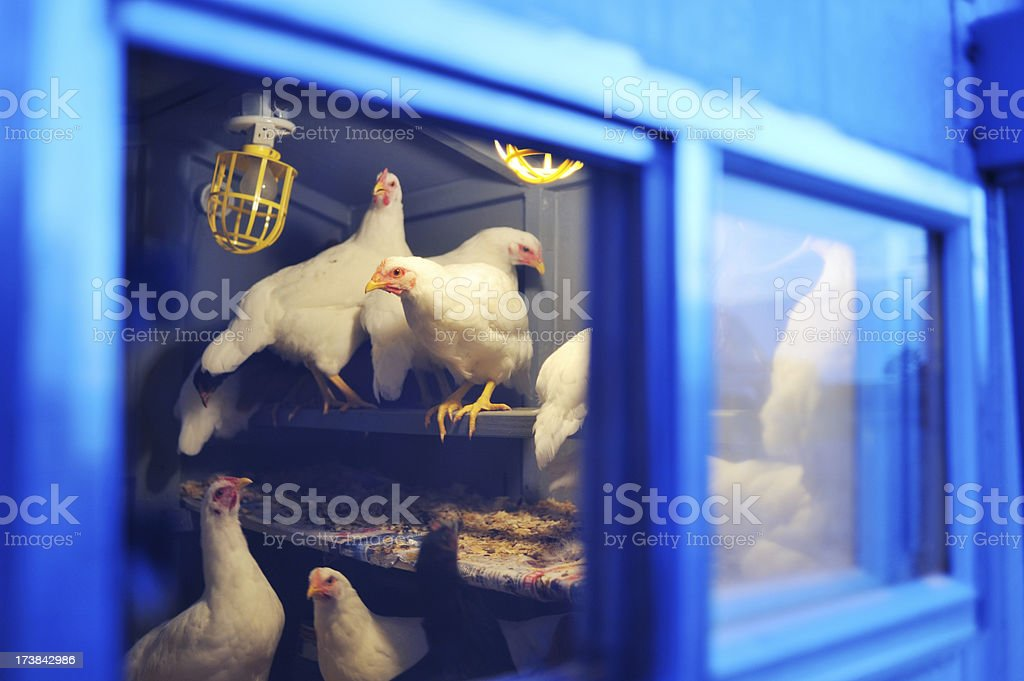 Poulets in blue coop stock photo