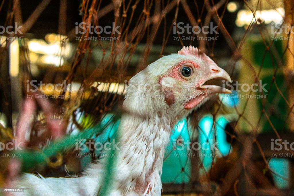 Poultry Chicken stock photo