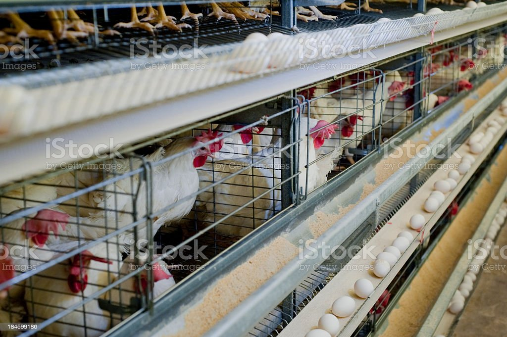 Poultry hens lined up in cages with eggs on a conveyor belt stock photo
