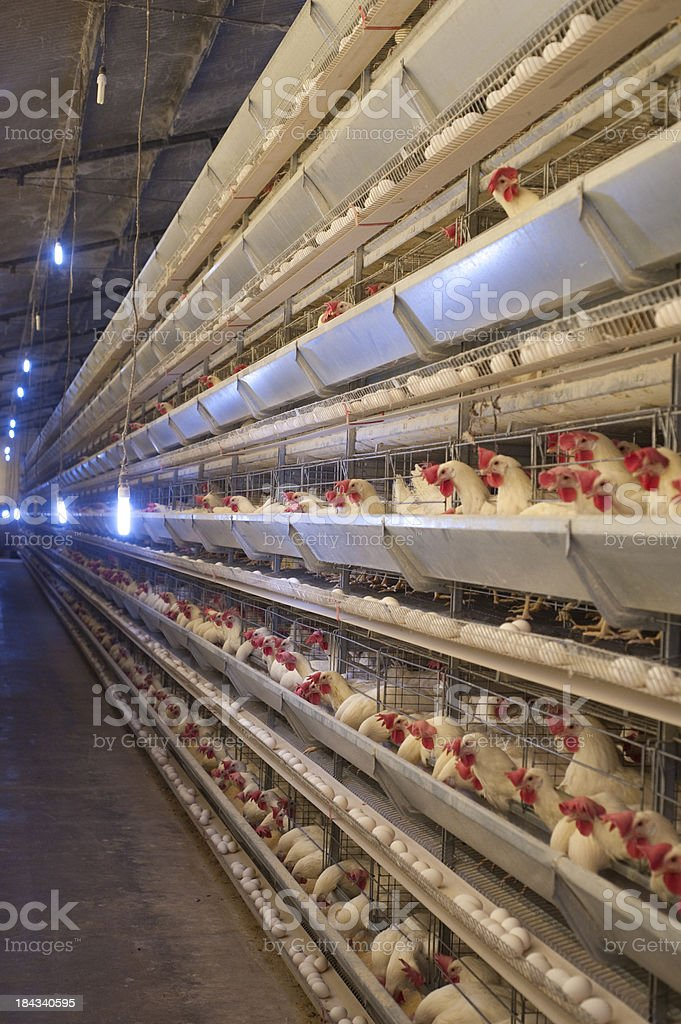 Poultry hens. stock photo