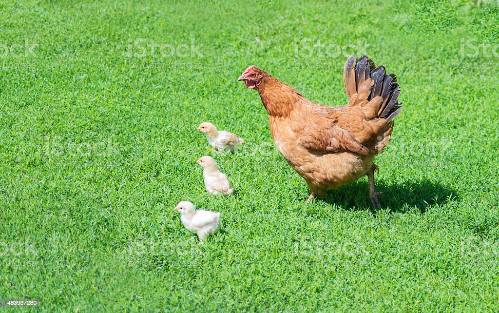 Poultry yard stock photo