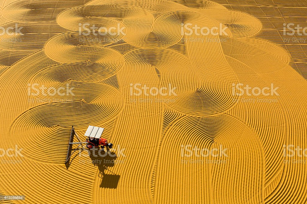 pounded wheat field stock photo