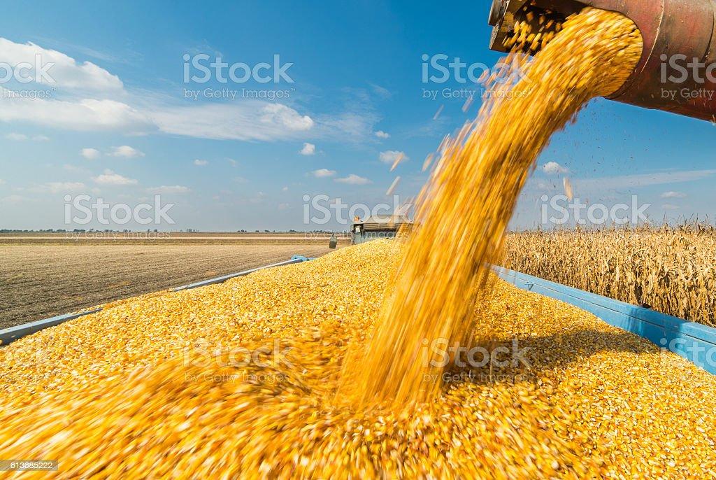 Pouring corn grain into tractor trailer stock photo