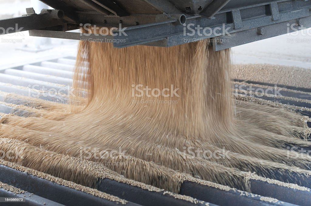 Pouring harvested wheat into a metal grate stock photo