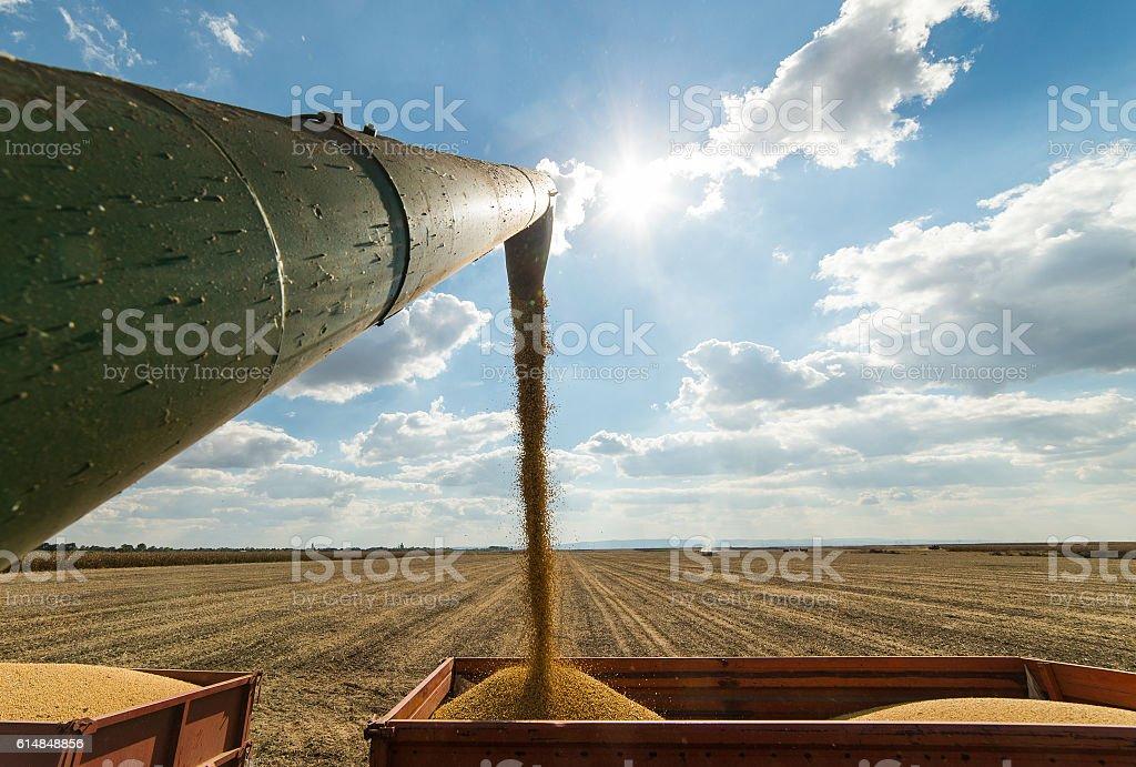 Pouring soy bean stock photo