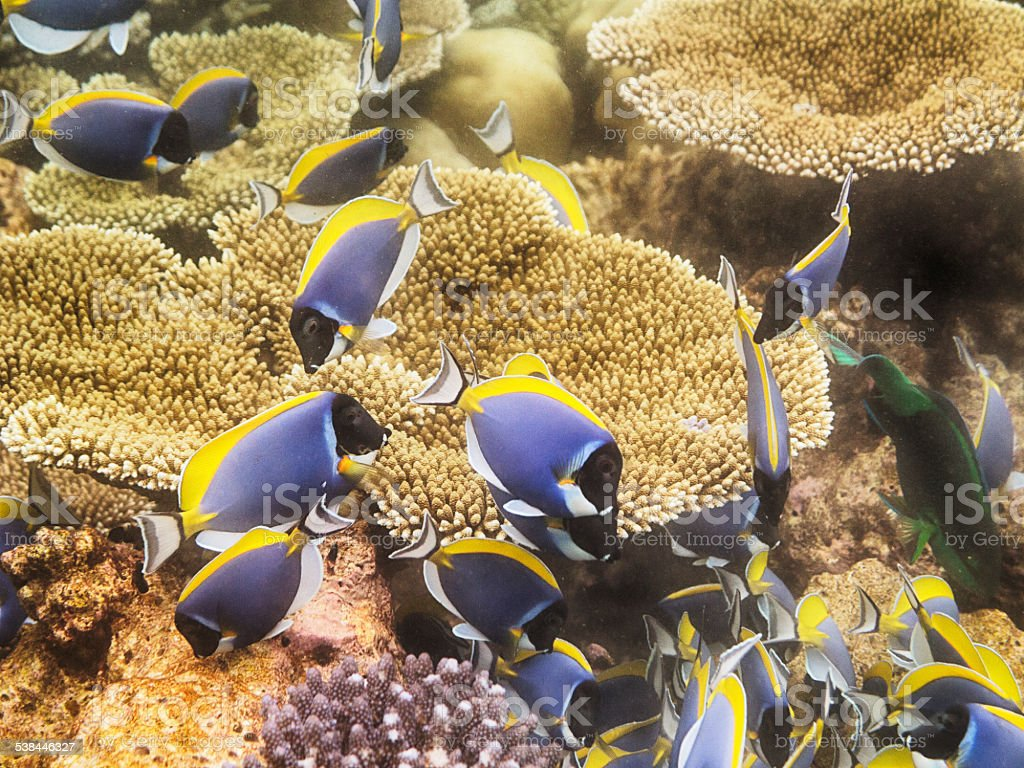 Powder Blue Surgeon Fish stock photo
