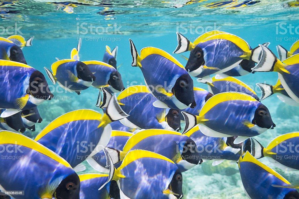 Powder Blue Surgeonfish stock photo