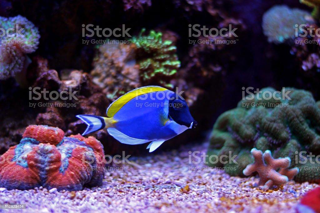 Powder Blue Tang in Aquarium
