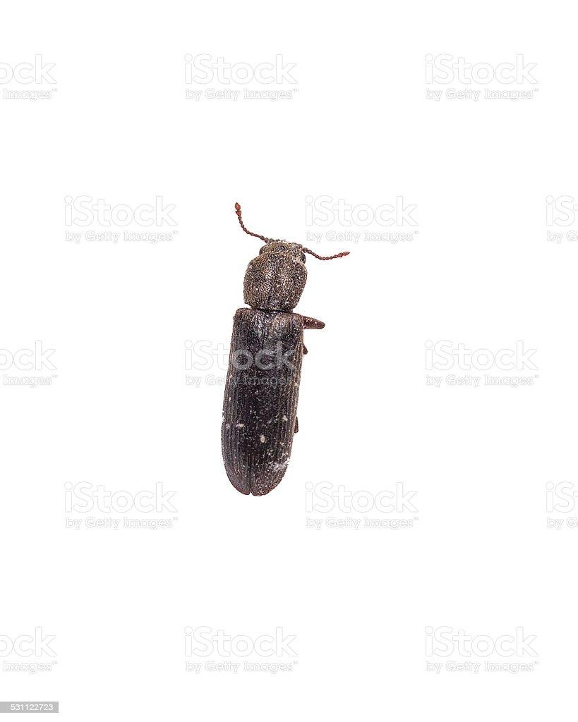 Powder Post Beetle stock photo