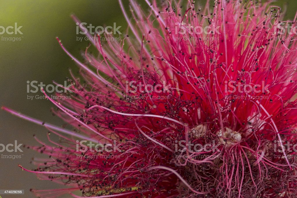 Powder Puff Blossom stock photo