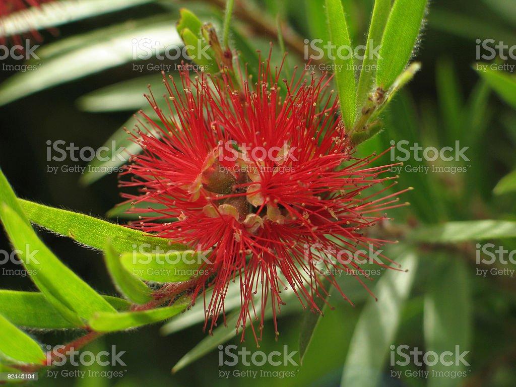 Powder Puff Flower royalty-free stock photo