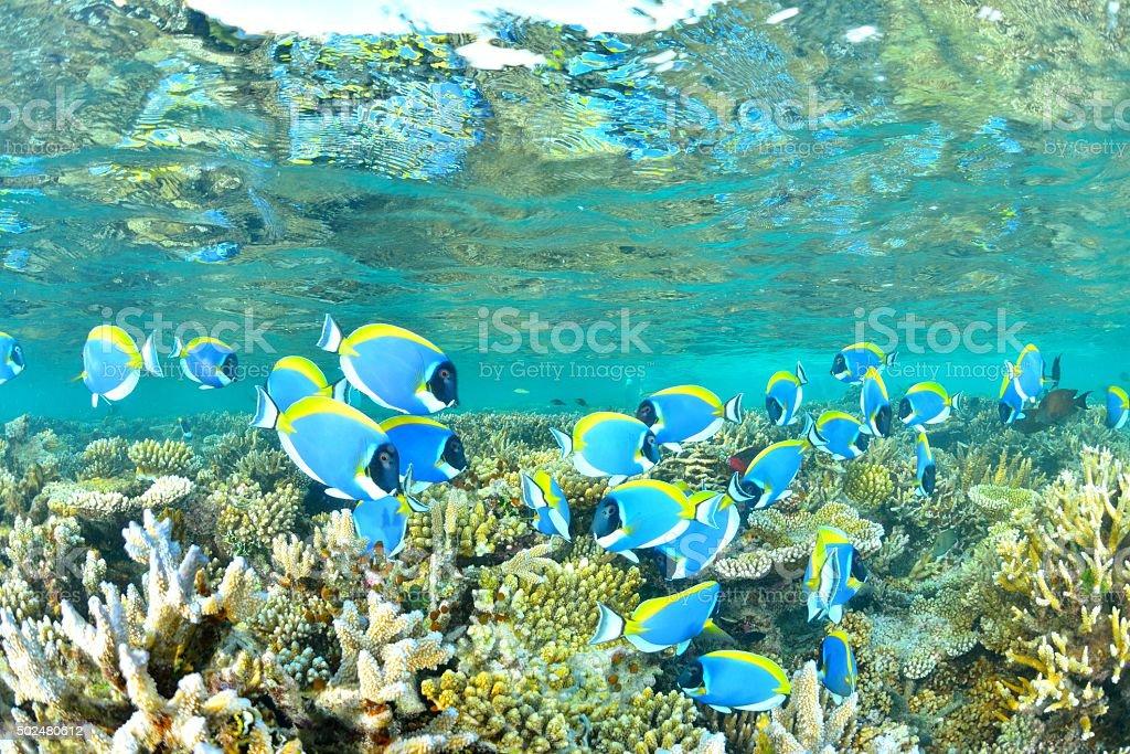 Azul-Pólvoracolor Barbeiro foto de stock royalty-free