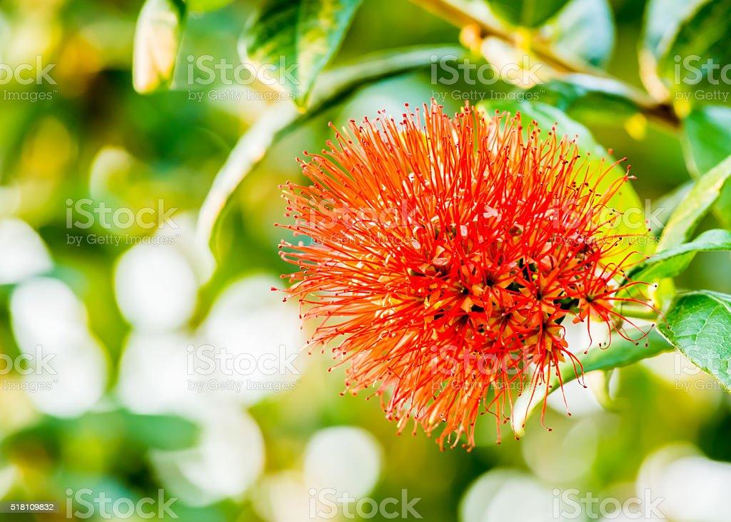 powderpuff flower in chiangmai Thailand stock photo