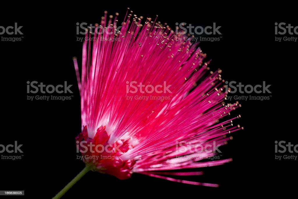 Powderpuff Flower stock photo