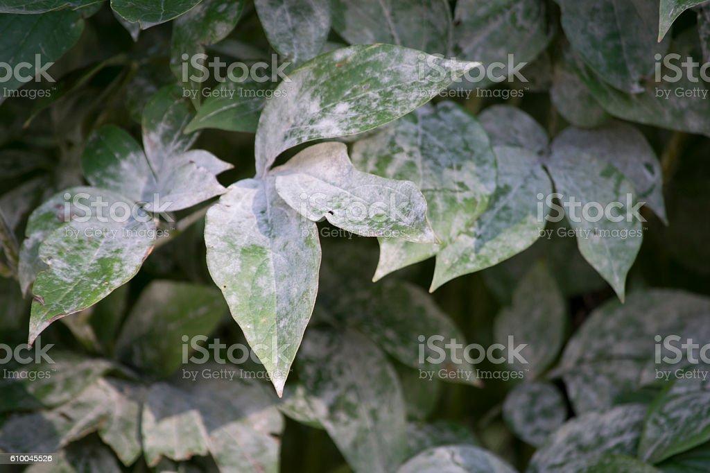 Powdery mildew disease on peonies stock photo